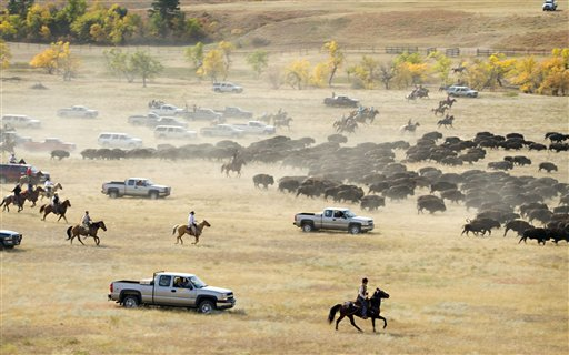 More than 1,000 buffalo thunder across the prairie land Monday, Sept. 24, 2012, during the 47th annual Buffalo Roundup in western South Dakota's Custer State Park. Event organizers estimate that more than 14,000 people attended the event.